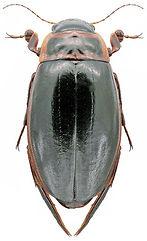 Dytiscus lapponicus.jpg