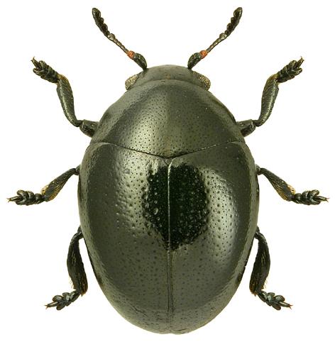 Oomorphus concolor 2