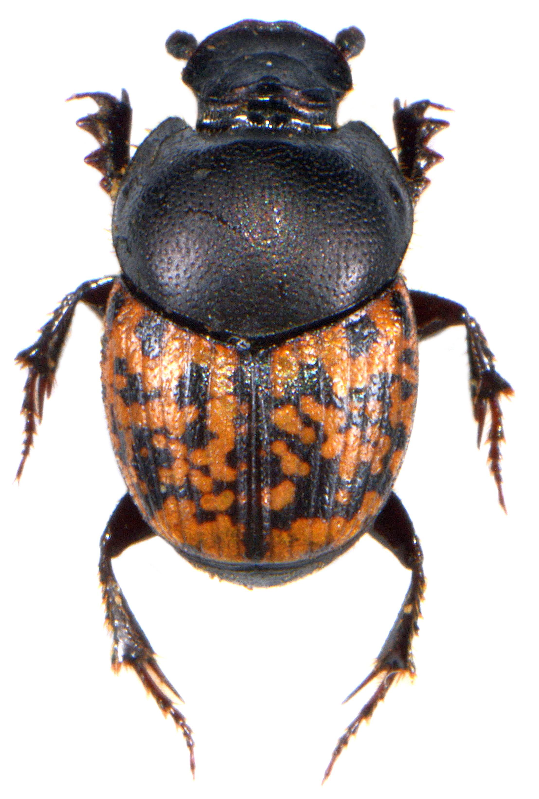 Onthophagus nuchicornis 1