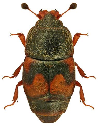 Carpophilus hemipterus