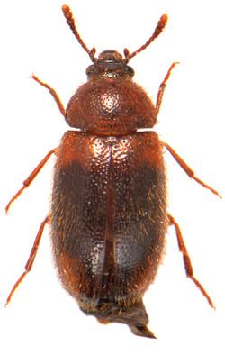 Triphyllus bicolor 1