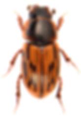 Volinus sticticus 1.jpg
