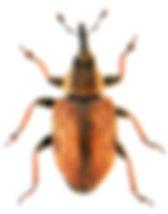 Gymnetron villosulum.jpg