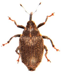 Ceutorhynchus picitarsis 2