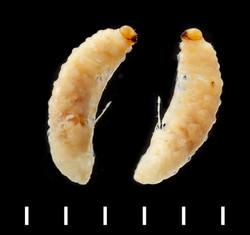 Perapion hydrolapathi larva