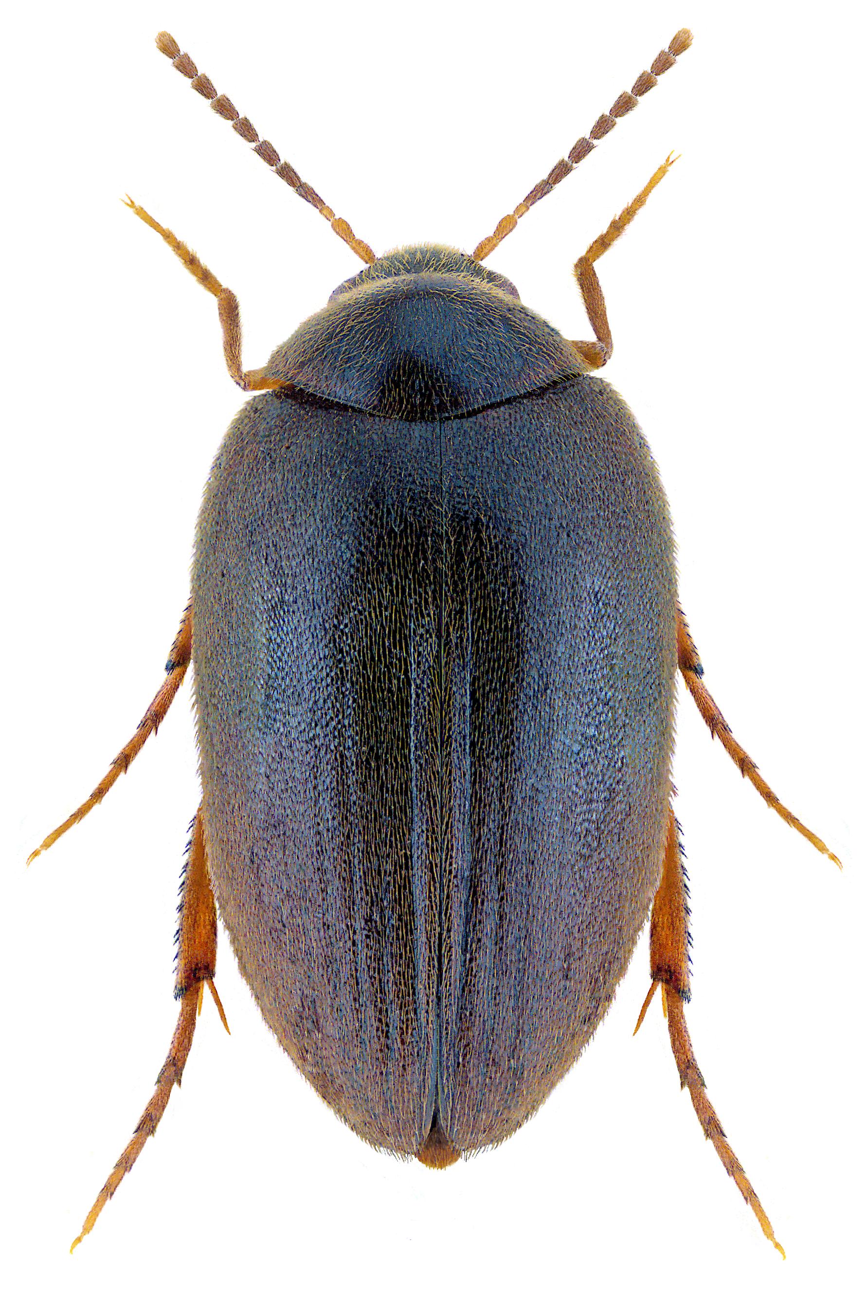 Eucinetus meridionalis