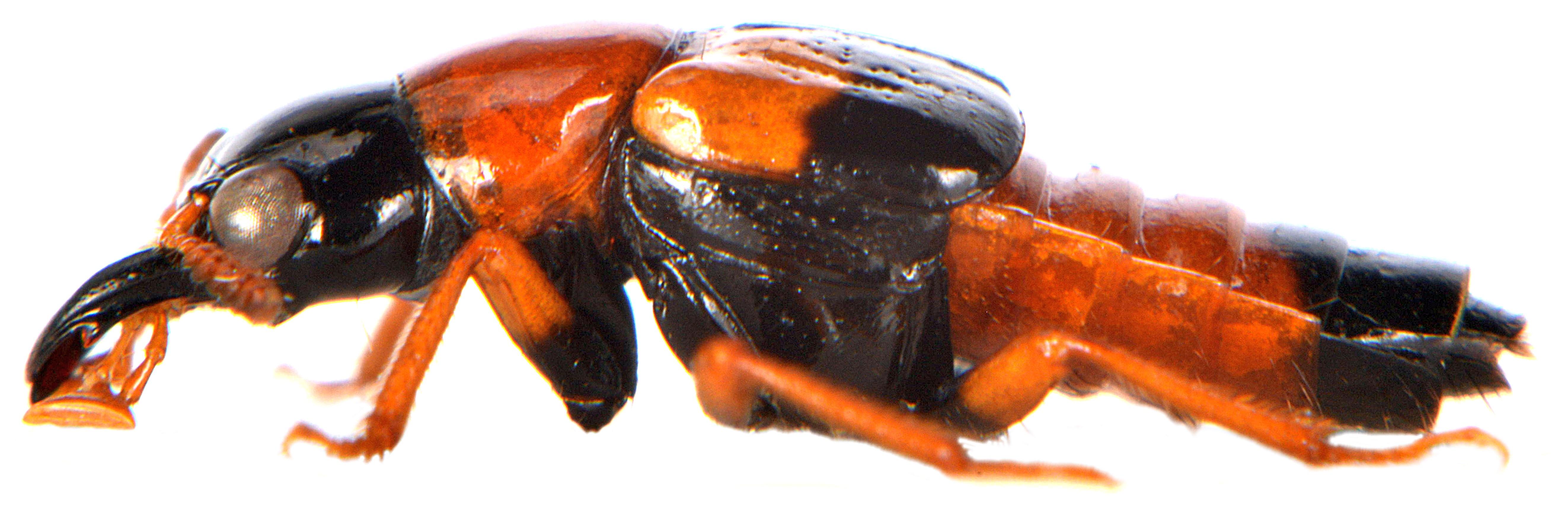 Oxyporus rufus 2