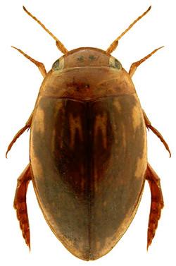 Laccophilus minutus 3