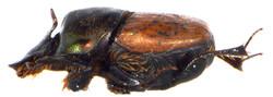 Onthophagus medius 4