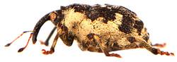 Hadroplontus trimaculatus 4