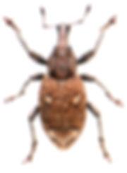 Graptus triguttatus 1.jpg