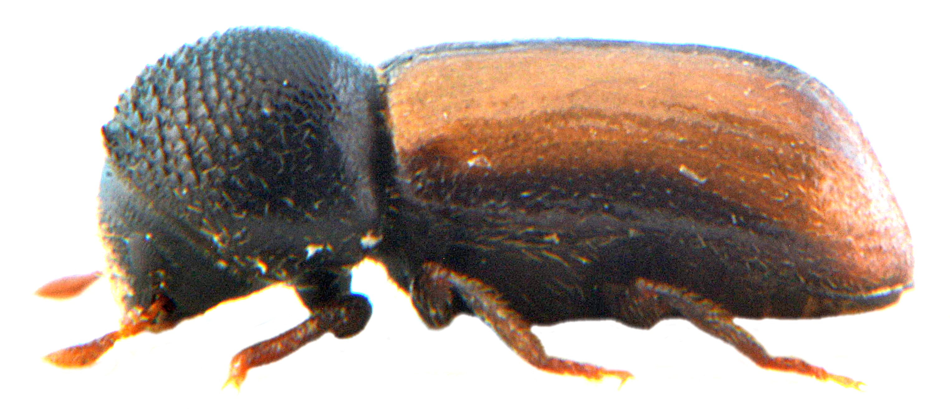 Trypodendron domesticum 2