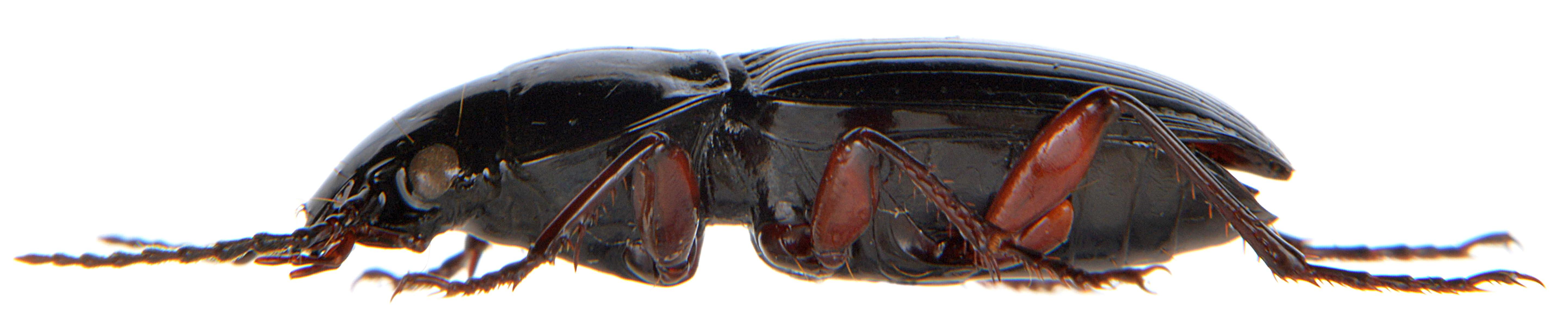 Pterostichus madidus 3