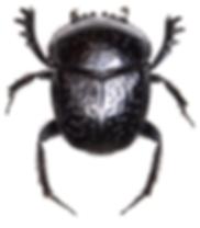 Scarabaeus variolosus 2.png