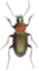 Chlaenius nigricornis 4.jpg