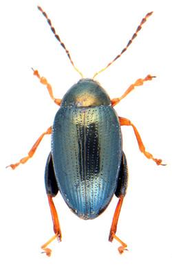 Psylliodes chrysocephala
