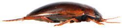 Liopterus haemorrhoidalis side