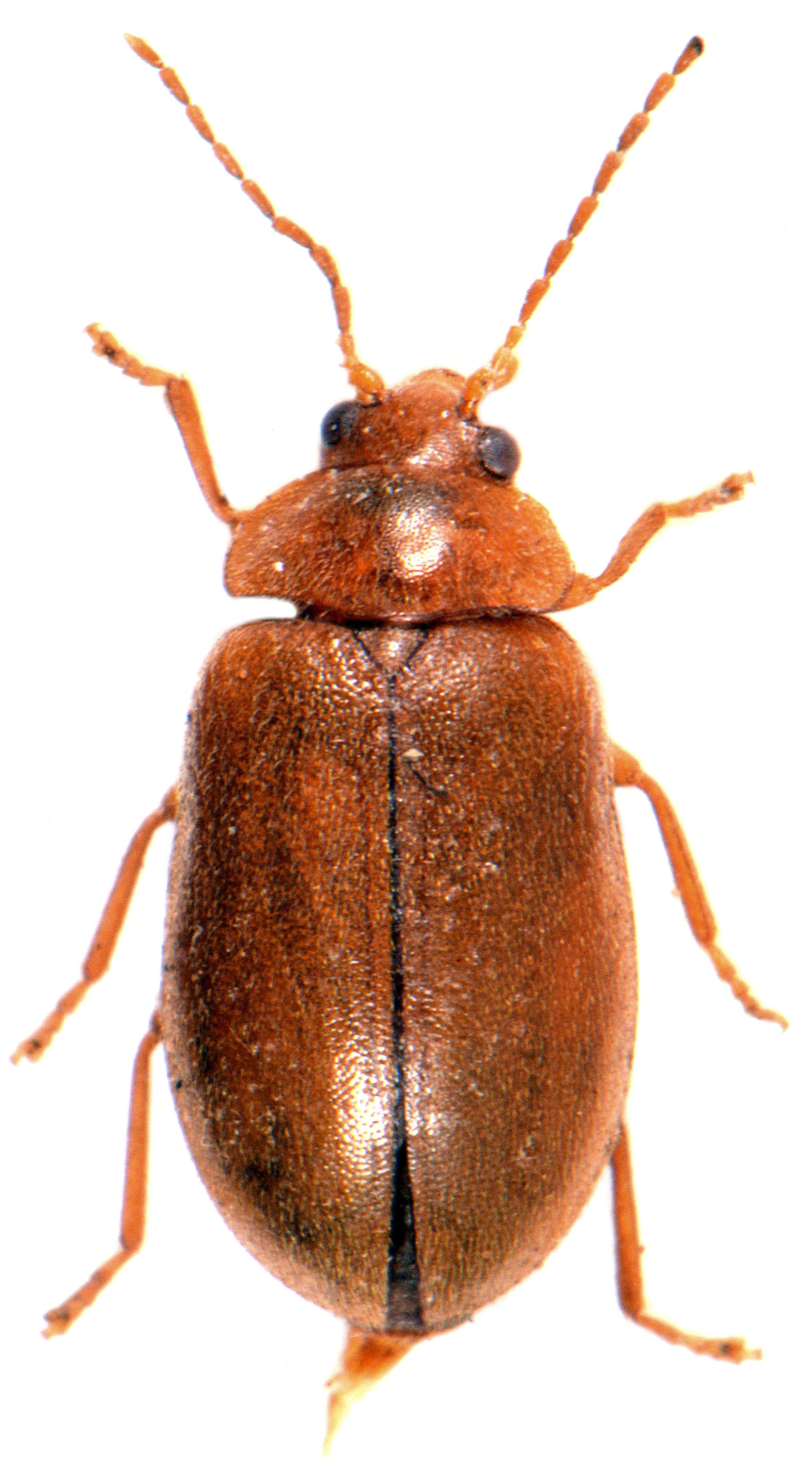 Microcara testacea 2