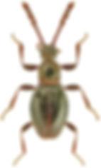 Euconnus denticornis.jpg