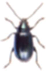 Altica lythri 1.jpg