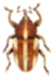 Tychius quinquepunctatus.jpg