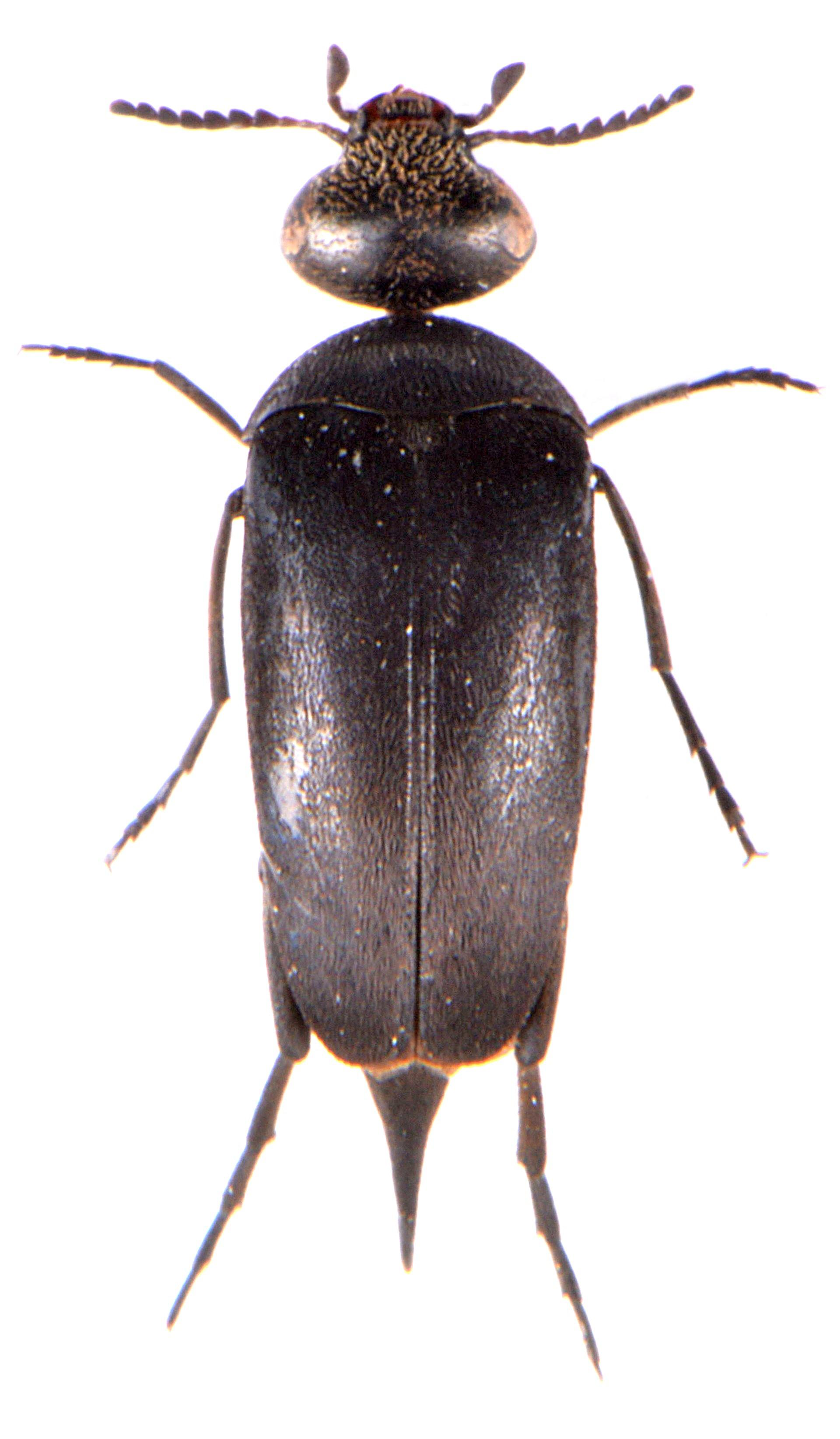Mordella holomelaena
