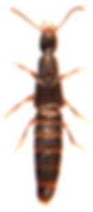 Rabigus pullus 1.jpg