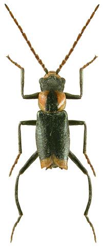 Axinotarsus pulicarius