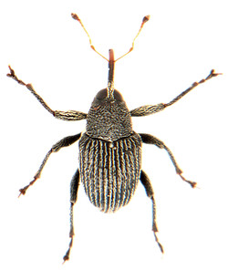Archarius pyrrhoceras 1