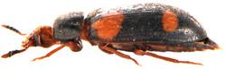 Mycetophagus quadripustulatus 4