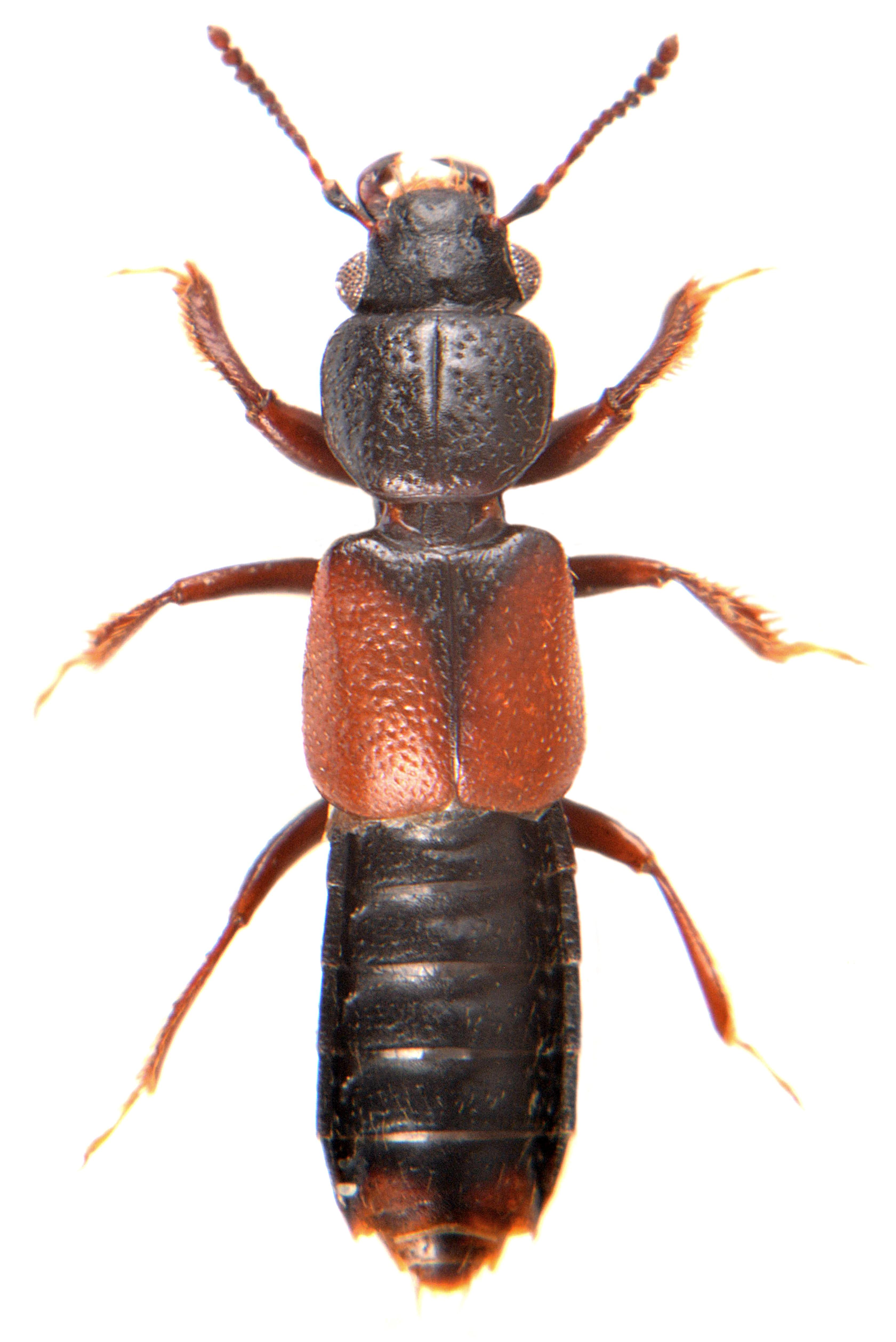 Bledius spectabilis 3