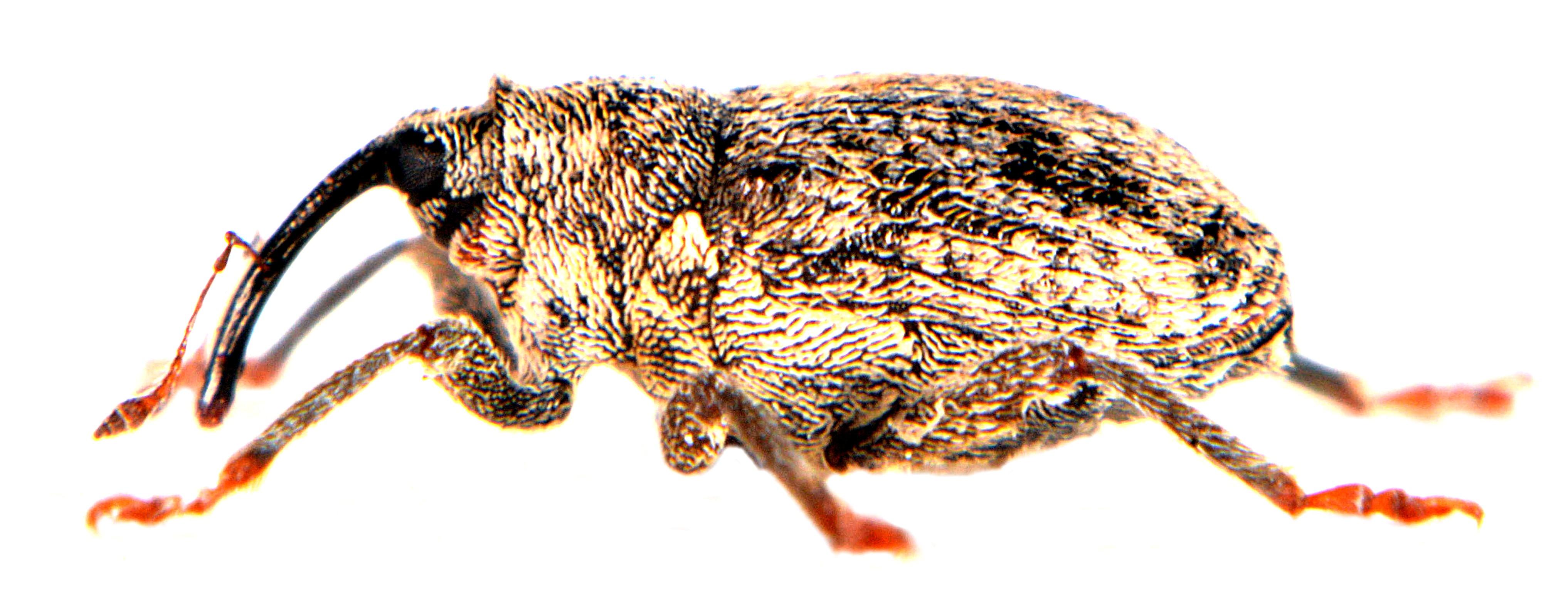 Ceutorhynchus pallidactylus 5