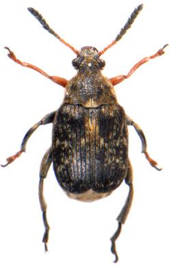 Bruchus rufimanus ♂