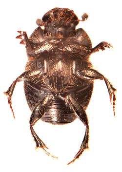 Onthophagus joannae 3
