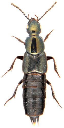 Philonthus laminatus 1