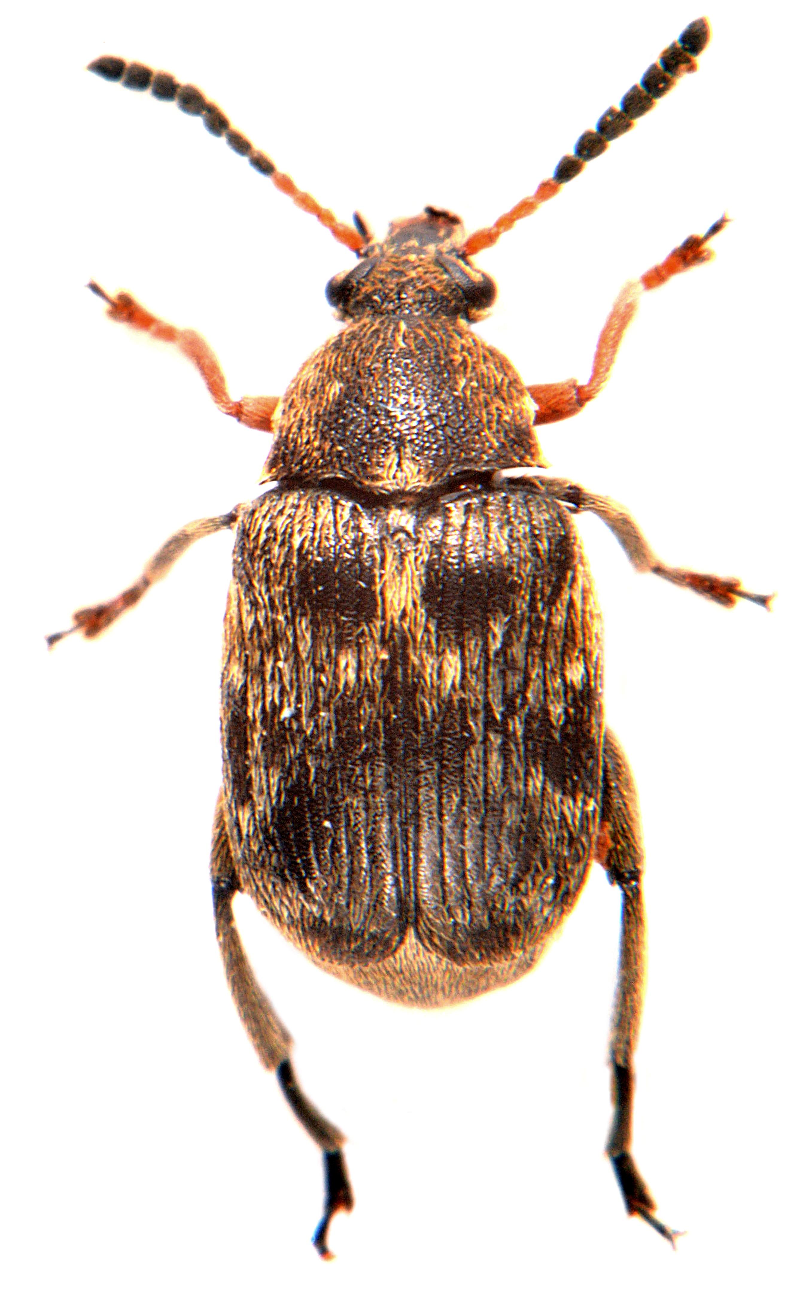 Bruchus rufimanus ♀
