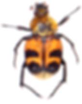 Trichius fasciatus 2.jpg