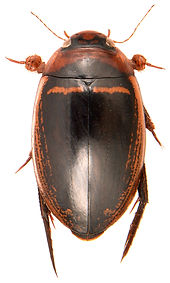 Hydaticus transversalis 1a.jpg