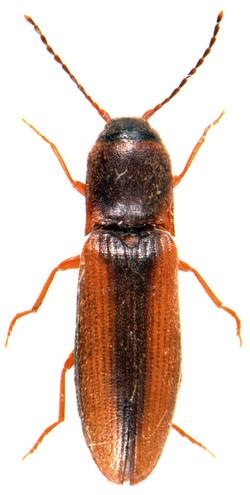 Dalopius marginatus 1