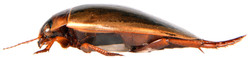 Colymbetes fuscus side view