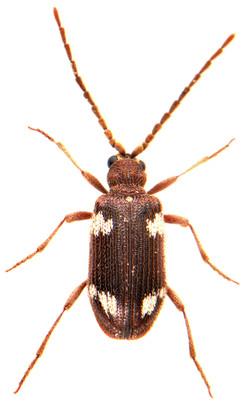 Ptinus sexpunctatus 1