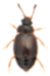 Proteinus brachypterus 1.jpg