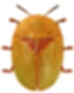 Cassida sanguinosa.jpg