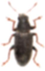 Charagmus griseus 1.jpg