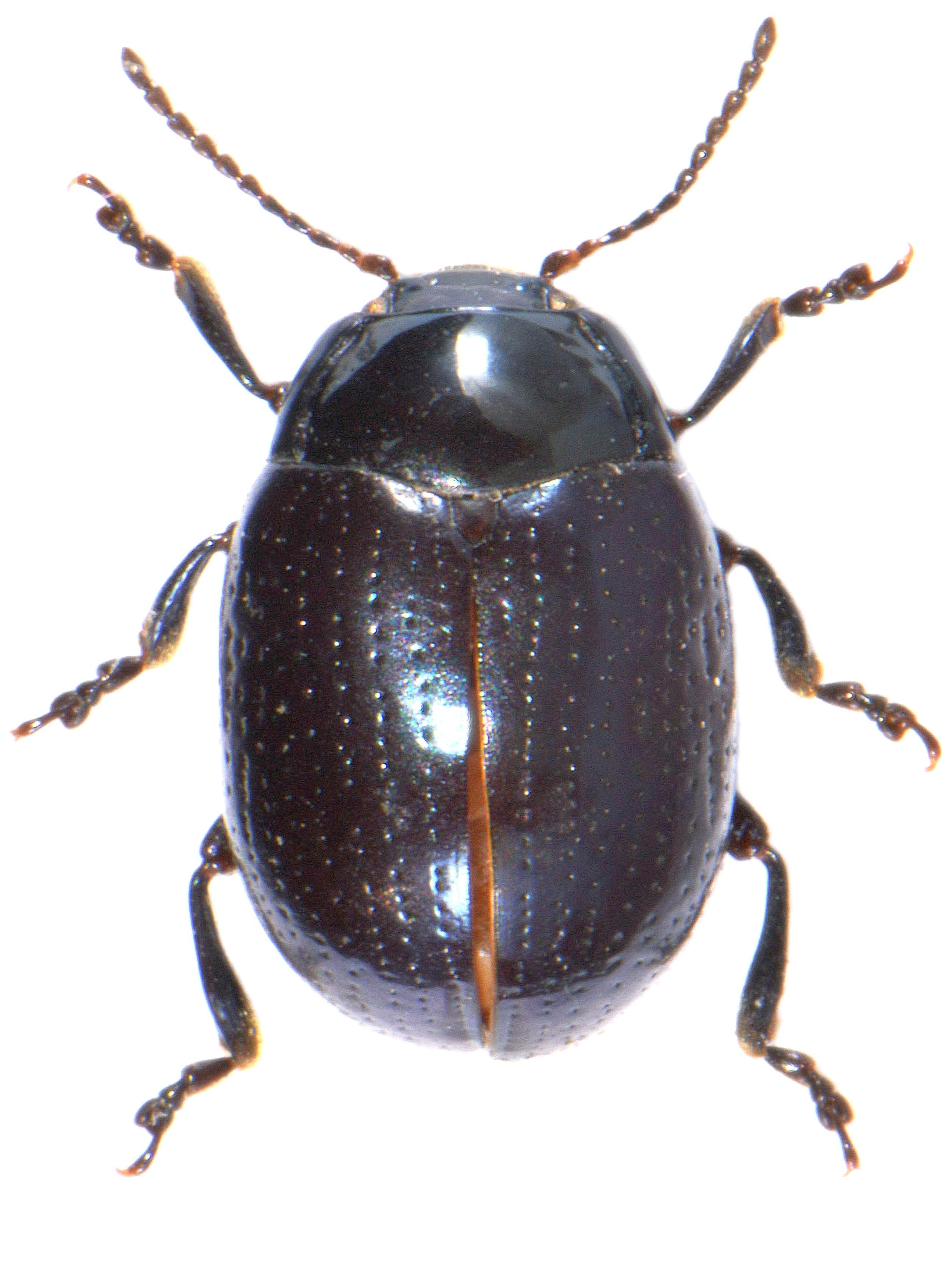 Chrysolina oricalcea ♀