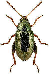 Psylliodes attenuatus.jpg