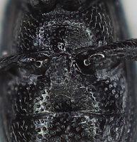 Perapion violaceum metasternum.jpg