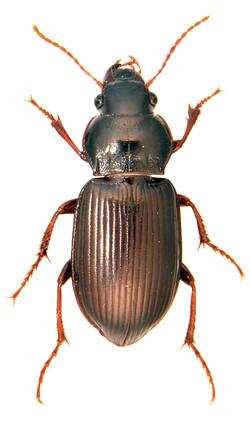 Curtonotus aulicus