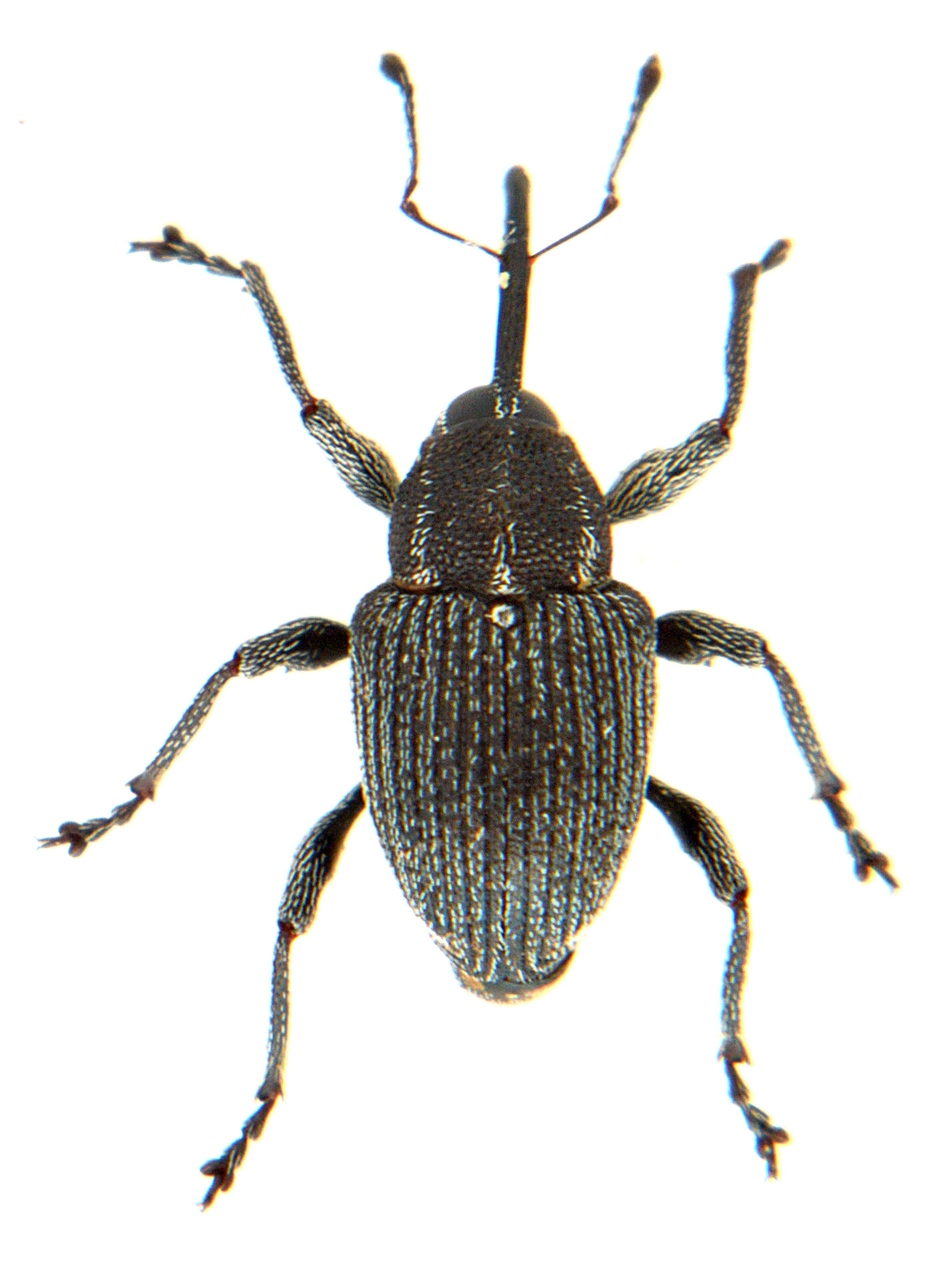 Archarius salicivorus 2