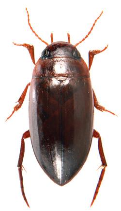 Liopterus haemorrhoidalis ♂